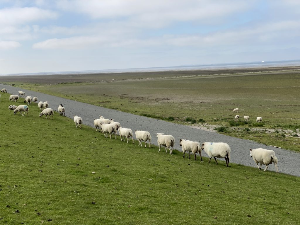 Schafe im Norden